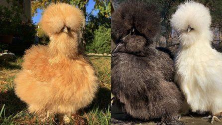 Buffe e dal pelo simile ai gatti. La gallina moroseta, una dolce compagna di vita