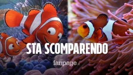 """""""Nemo"""" rischia l'estinzione: i pesci pagliaccio non si adattano ai cambiamenti climatici"""