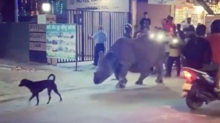 Il cane passeggia col suo nuovo amico: un rinoceronte scappa dal parco e cammina in strada