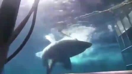 """Squalo attacca sub nella gabbia, la denuncia: """"Lo hanno fatto morire dissanguato"""""""