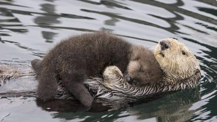 Trasporta il figlio sulla pancia per evitare che prenda freddo: tutto l'amore di mamma lontra