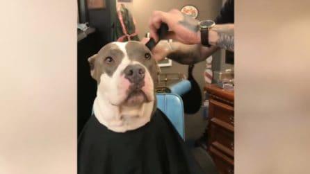Pit bull va a farsi bello dal barbiere: la reazione durante il taglio