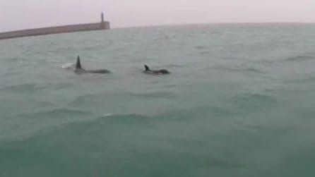 Genova, orche nel porto: l'avvistamento è eccezionale