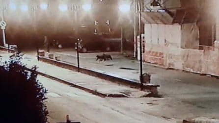 Cuccioli d'orso camminano per la città: le telecamere di sorveglianza riprendono tutto
