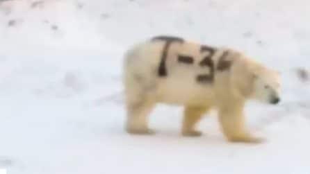 Un'inquietante scritta sulla pelliccia dell'orso polare: il mistero nell'Artico
