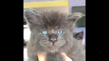 """Occhi blu e viso """"umano"""": il gatto diventa una star del web"""