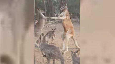 Sfida tra giganti: canguro alto due metri sfida un suo simile a boxe