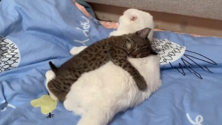 Non esistono differenze di specie: la piccola lince e il gatto si amano