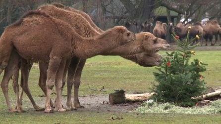 Allo zoo di Berlino alberi di Natale invenduti per gli animali