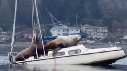 I leoni marini si riposano sulla barca: lo scafo si inclina e finisce sott'acqua