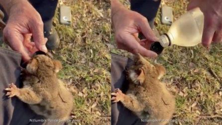 Gli incendi piegano l'Australia: l'opossum si arrampica sulla gamba di un uomo in cerca d'acqua