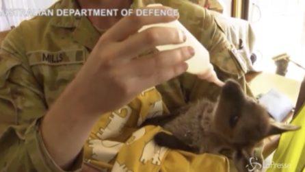 Roghi Australia, l'esercito cura i cuccioli feriti