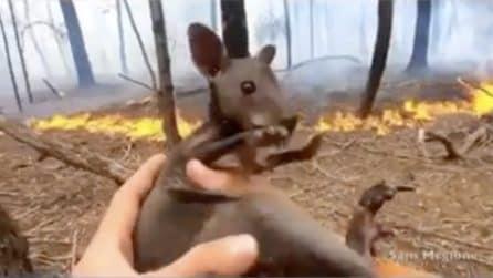 Salva il canguro poco prima che venga inghiottito dalle fiamme: un'altra vita salva in Australia