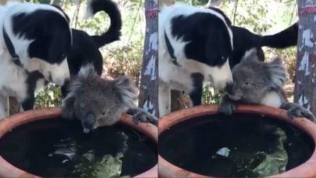 Australia, il koala è assetato: il suo amico cane lascia che beva la sua acqua