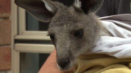 Australia, baby canguro trovato nel marsupio della madre morente