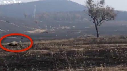 L'emu sopravvissuto ai devastanti incendi in Australia: cammina solitario sul terreno bruciato