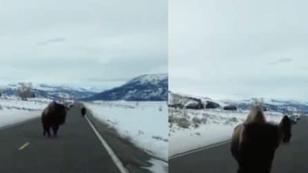 Bloccati in strada, i bisonti caricano e colpiscono la sua auto