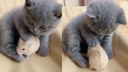 Gatto e topo possono essere amici: il video che sfata il mito