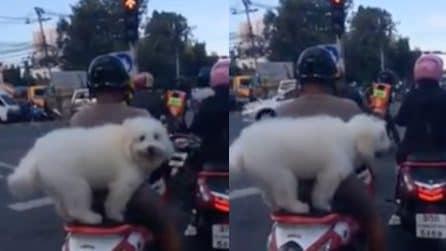 Il cane seduto sulla sella: guardate che fa quando scatta il semaforo verde