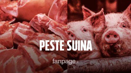 Allarme peste suina in Italia, sequestrate 10 tonnellate di carne cinese trasportata come droga