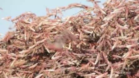 Invasione impressionante di locuste, a rischio la sicurezza alimentare
