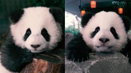 Cuccioli di panda gemelli pronti al debutto in società