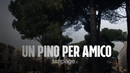 Roma, la battaglia dei residenti per salvare i pini di Corso Trieste dall'abbattimento