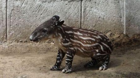 Le bellissime immagini del tapiro dell'America centrale