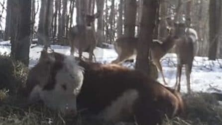 La mucca scappa dal macello e vive nel bosco insieme ai cervi