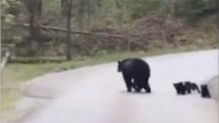 Mamma orsa insegna ai piccoli ad attraversare: l'amore verso i suoi cuccioli