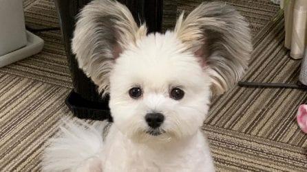 Il dolce cane con le orecchie da topolino