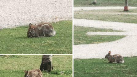 Milano, strade deserte per il coronavirus: le lepri corrono e saltano nei parchi