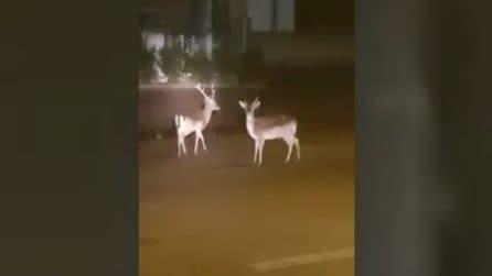Salento, due cervi a spasso nelle strade vuote