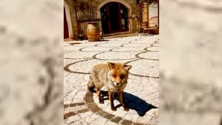 Abruzzo, strade deserte: la volpe rossa arriva fino al centro del paese