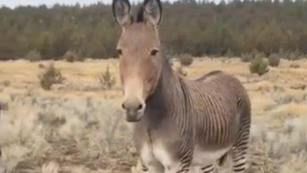 Un raro esemplare di zonkey: nato da una zebra e un cavallo