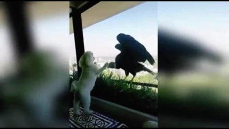 Due grossi condor arrivano alla finestra vedendo i cagnolini all'interno dell'appartamento