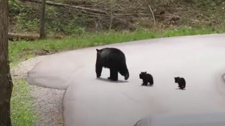 Mamma orso con i suoi cuccioli, attraversa la strada e poi si perde nel bosco