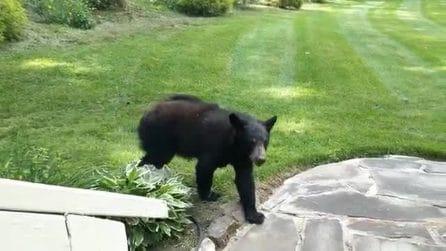 C'è un orso nel suo giardino, ma l'uomo resta immobile: l'incontro ravvicinato