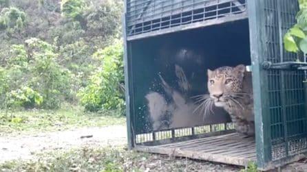 L'emozionante video del leopardo rilasciato nel suo ambiente naturale