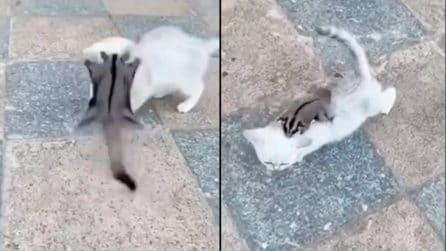 Il petauro dello zucchero attacca il gattino, poi diventano subito amici
