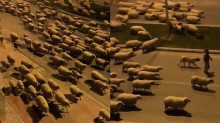 Centinaia di pecore si impossessano delle strade in tempi di lockdown