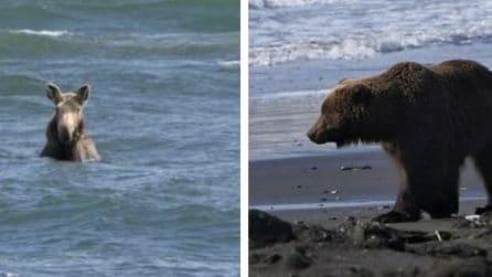 L'alce inseguito dall'orso si tuffa in mare per scappare dal predatore