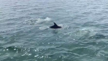 Cagliari, delfini vanno a caccia al molo di Ichnusa