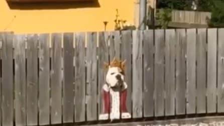 Il bulldog che si crede un re è diventato una star