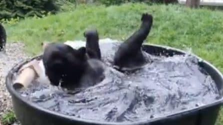 Momento del bagno: orso si tuffa e si rilassa in acqua