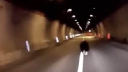 Un cucciolo d'orso in galleria: spaventato corre e viene scortato della polizia fino all'uscita