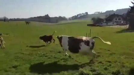 Le mucche tornano al pascolo all'aria aperta: la loro reazione è tutta da vedere