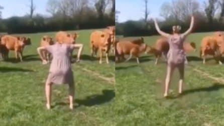 Si mette in questa strana posizione davanti alle mucche, provocando la loro reazione