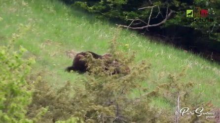 Iniziata la stagione degli amori: il corteggiamento dell'orso