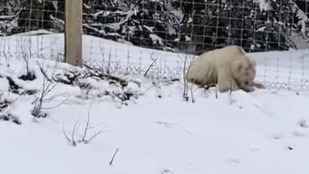 Crede di filmare un orso polare tra gli alberi: si tratta invece di un animale molto raro